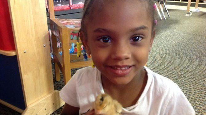 Kindergartners hatch chicks