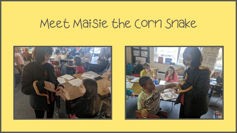 maisie the corn snake